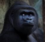 gorilla_200